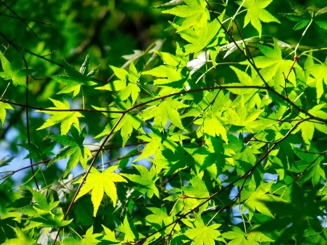 シンボルツリーにイロハモミジ